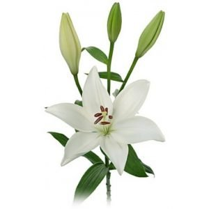 asiatic lillies white 5 bunches 300x300 - Planning Catholic Funeral Liturgies Workshop